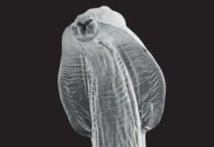 gusanos redondos