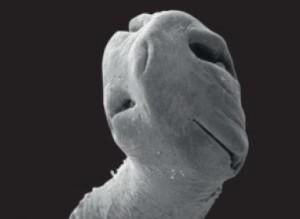 gusanos planos