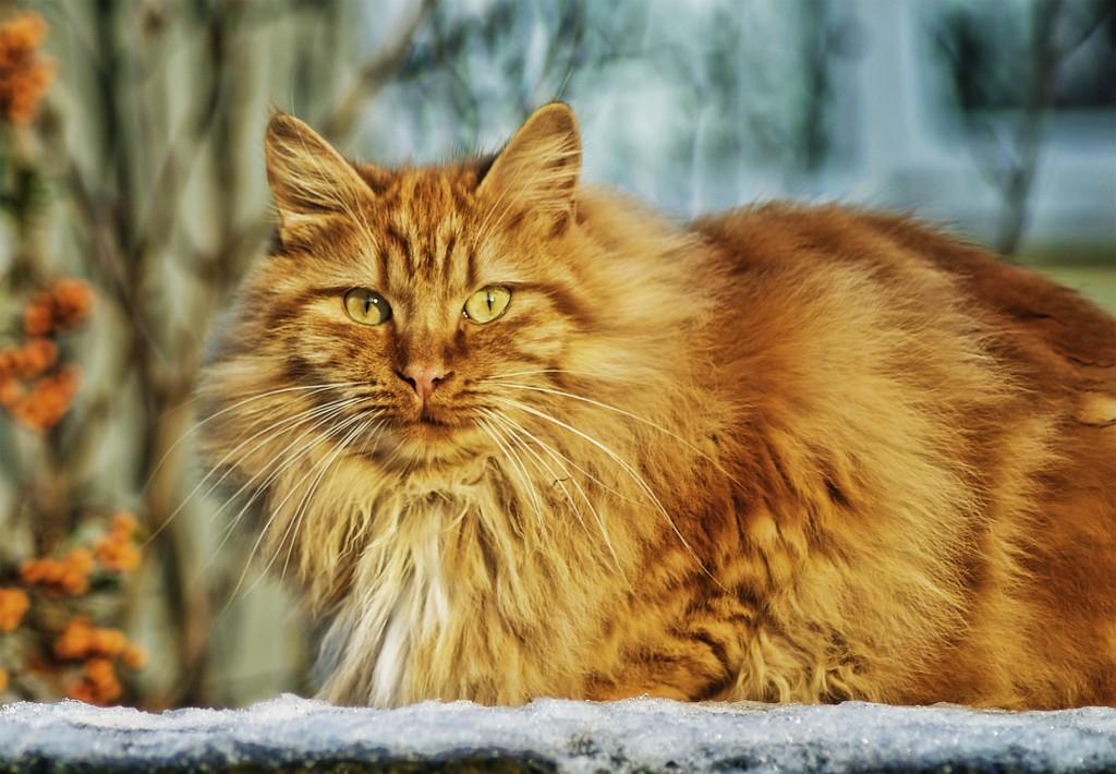 diabetes en gatos