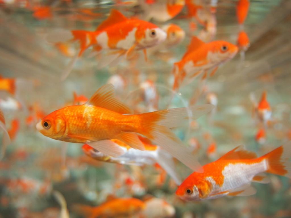 goldfish-178585_1920